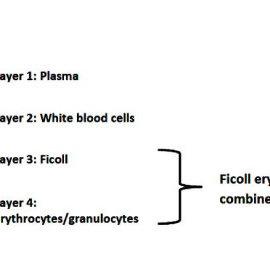 Diagrammatic representation of granulocytes in separation