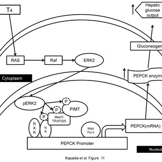 In response to MAPK induction by T4, ERK2 phosphorylates