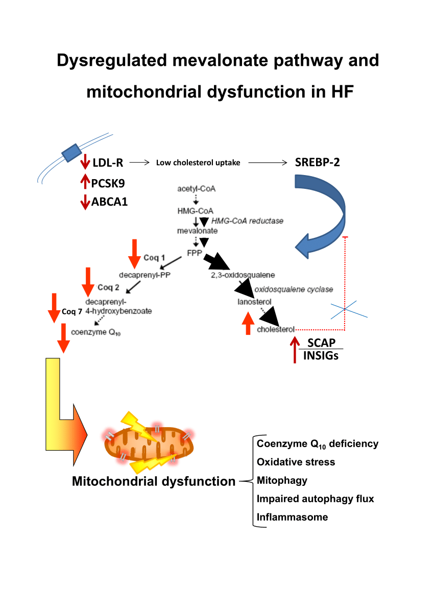 medium resolution of  pdf intracellular cholesterol accumulation and coenzyme q10 deficiency in familial hypercholesterolemia