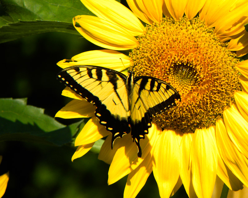 Fall Desktop Wallpaper With Sunflowers Butterfly On Sunflower A Photo From North Carolina South