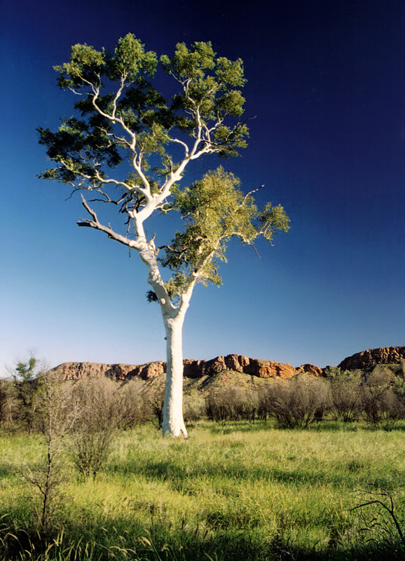 Blue and white Eucalyptus a photo from Northern Territory West  TrekEarth