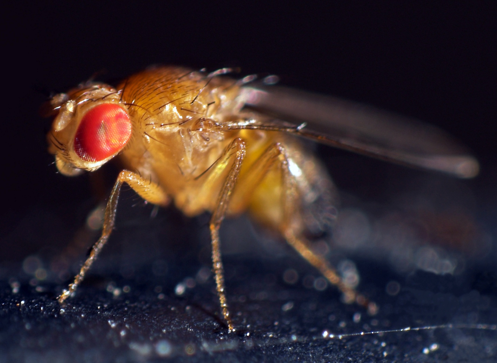 medium resolution of an introduction to fruit flies the berg lab descriptive diagram of drosophila life cycle