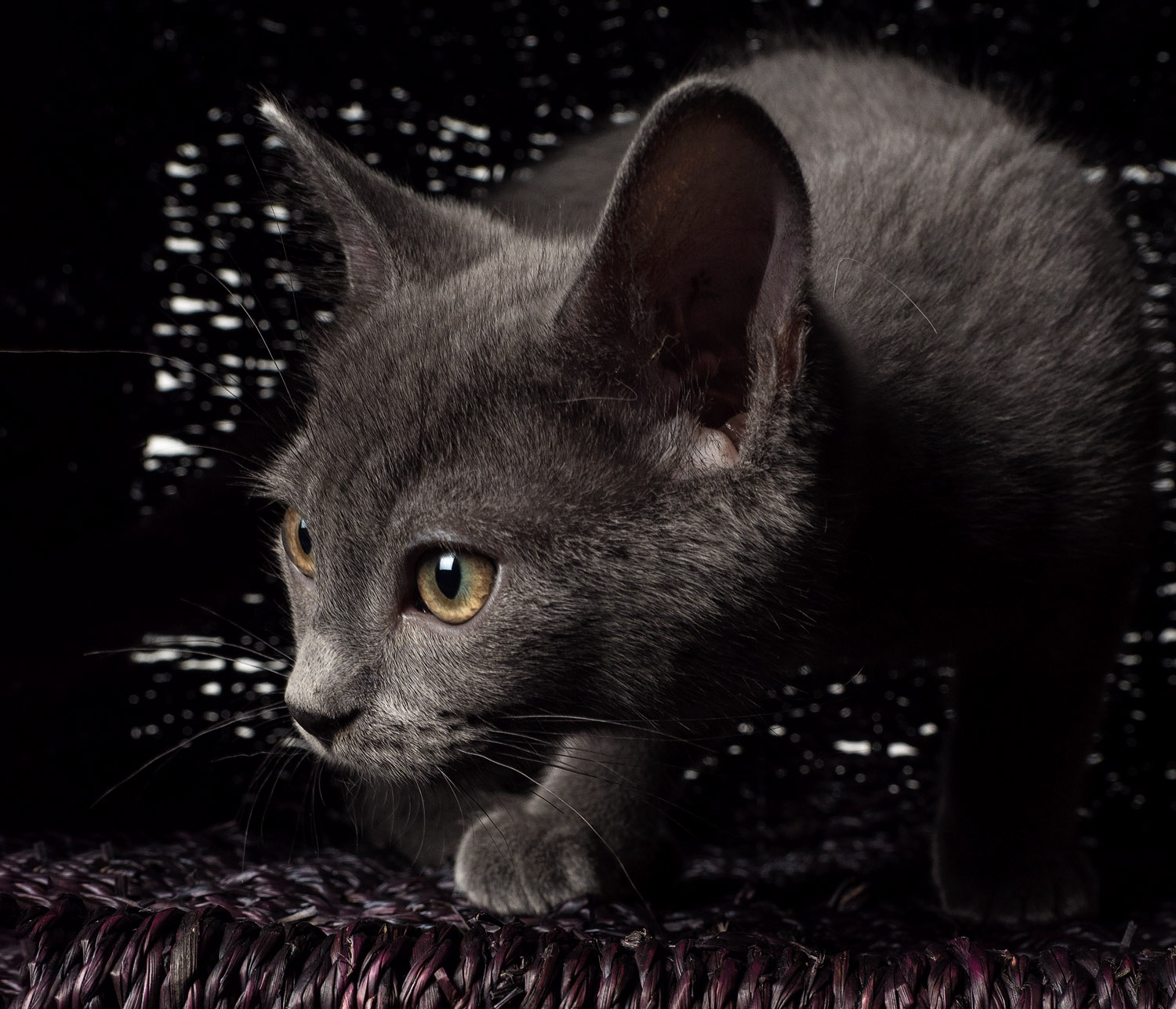 grey cat tips for great lighting for pet photography [ 1500 x 1287 Pixel ]