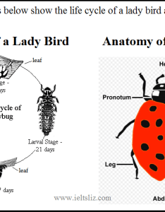 Ielts lady bird diagram also writing task life cycle rh ieltsliz
