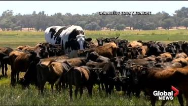 massive cow named knickers