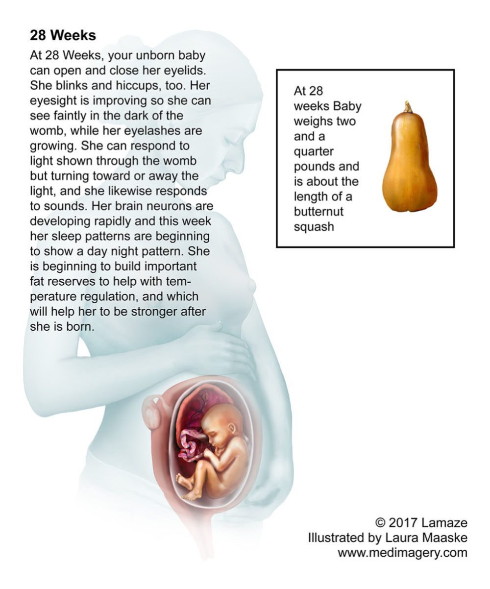small resolution of fetus illustration 28 week fetus size of butternut squash medical illustration copyrighted material by