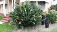Birds of Paradise Flowers/ Plant - YouTube
