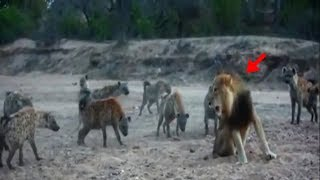 화난사자 하이에나 공격! 엄청난 싸움