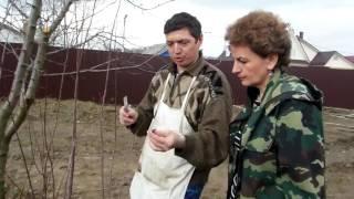 Как привить взрослое дерево Прививка на сливу. Сайт ″Садовый мир″