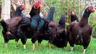 Large range of Aseel Hens in Different Colors 03459442750