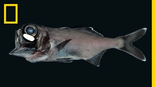 Tiny Fish Use Bacteria to Glow in the Dark | National Geographic