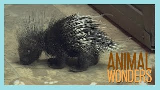 Baby Porcupine!