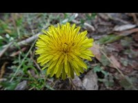 Wild Edible Plants in your Backyard! (HD) - YouTube
