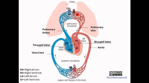 Pulmonary and Systemic Circulation  YouTube