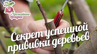 Секрет успешной прививки деревьев #urozhainye gryadki
