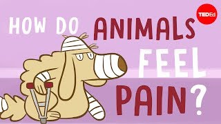 How do animals experience pain? - Robyn J. Crook Video
