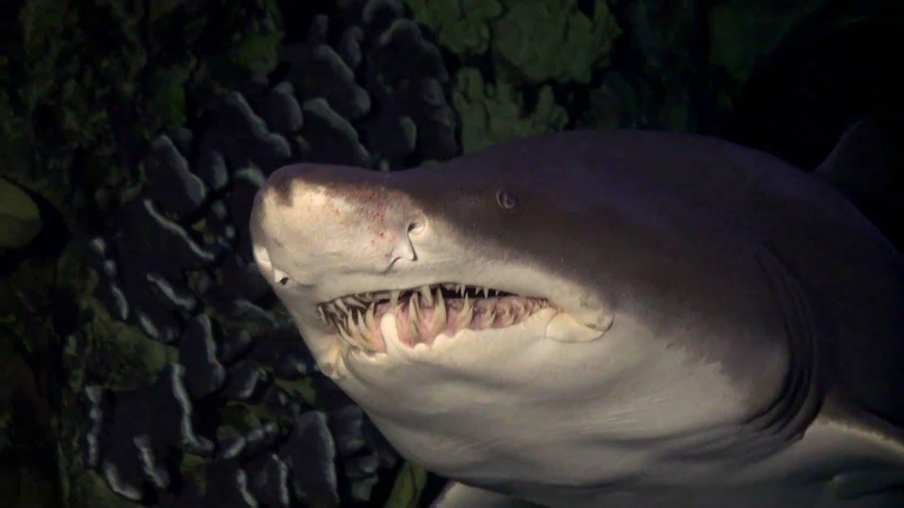 Killer Whale Hd Wallpaper Sand Tiger Shark Closeup Youtube