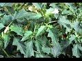 Ядовитые растения. Дурман обыкновенный