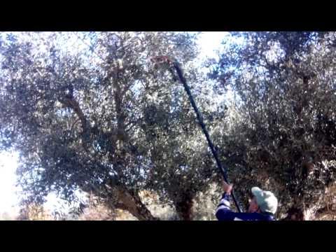 Apanha da Azeitona na Freguesia de Enxames - http://wp.me/p3uZGk-Gh