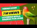 LOVEBIRD BIOLA NGEKEK PANJANG pancingan LOVEBIRD KONSLET