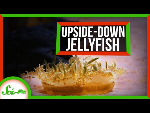How Upside-Down Jellies Sting You Without Touching You