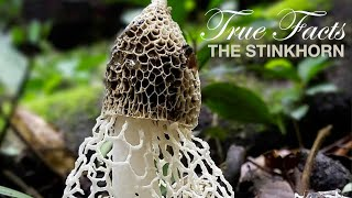 Watch True Facts: Stinkhorns Video