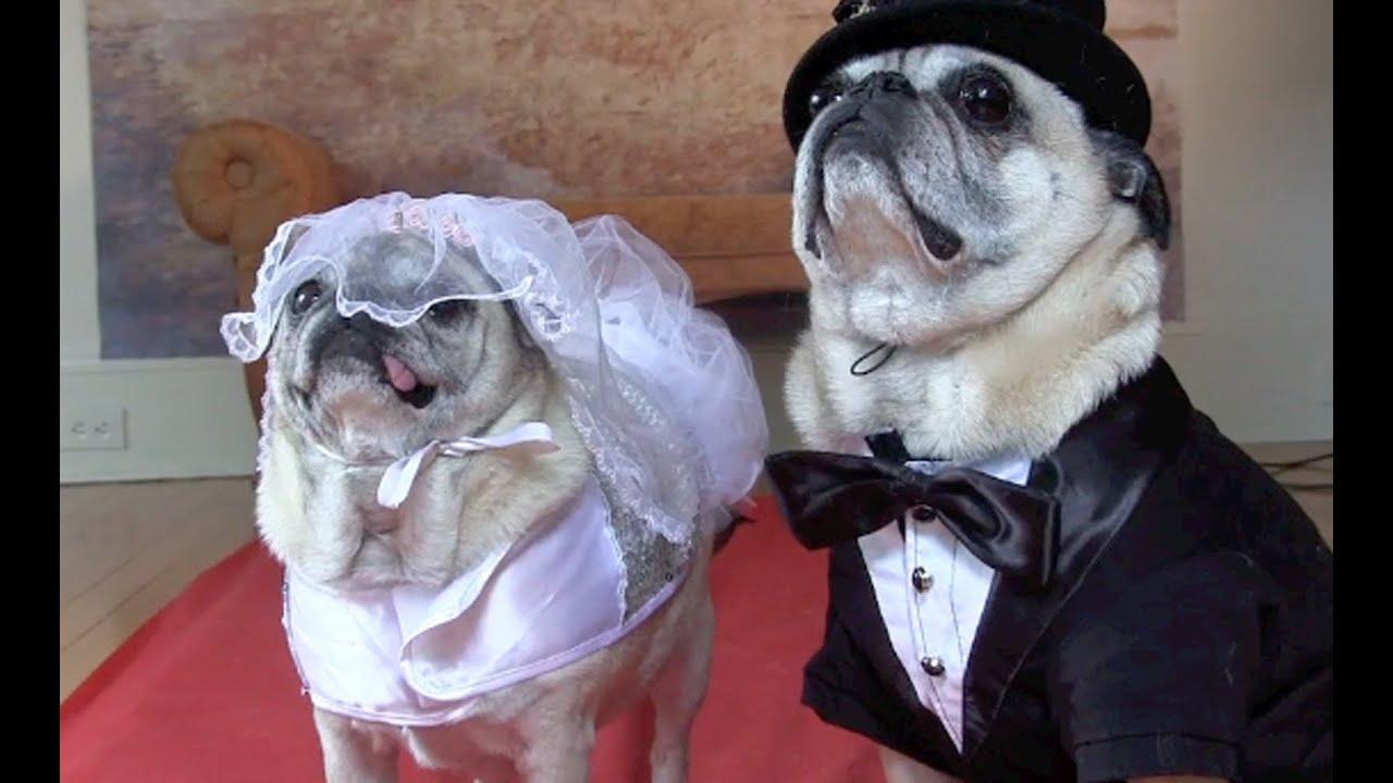 Cutest Pug Wedding YouTube