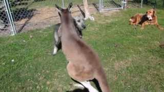 PUPPY AND KANGAROO PLAY CHASE