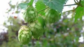 Growing Hops At Home - First hop flowers and the next 2 years ( 4)