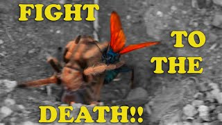 Tarantula Hawk Wasp VS Desert Tarantula- DESERT SHOWDOWN (FIGHT NOT STAGED! SEE DISCLAIMER)