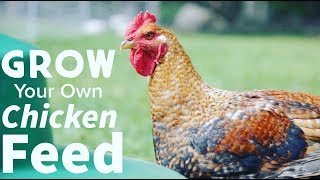 How To Grow Chicken Feed and Cut Cost