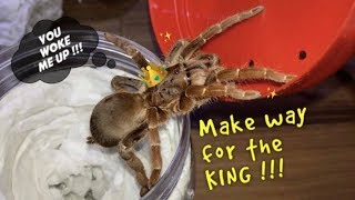 UNBOXING mean KING Baboon TARANTULA !!!