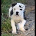 Pitbull puppies for sale in richmond virginia west va newport