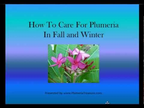 Plumeria  How to Care for Plumeria  Plumeria Care in the