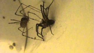 Spitting Spider (Scytode)-Natural Brown Recluse Spider Trap