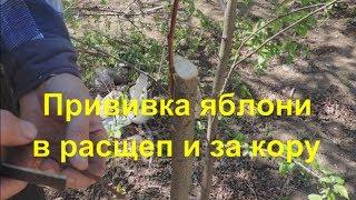 Прививка яблони способами ″в расщеп″ и ″за кору″. Inoculation of apple trees