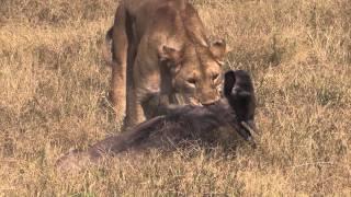 EPIC AFRICA: Lion Kill in Ngorongoro