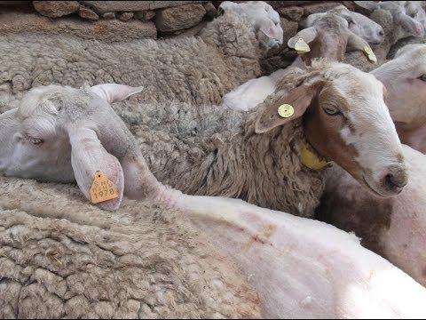 Tosquia de ovelhas - Freguesia de Enxames