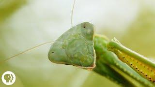 Praying Mantis Love is Waaay Weirder Than You Think | Deep Look