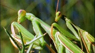 Mantis Mating | Wildlife On One: Enter The Mantis | BBC