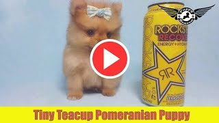 Tiny Teacup Pomeranian Puppy by PuppyHeaven