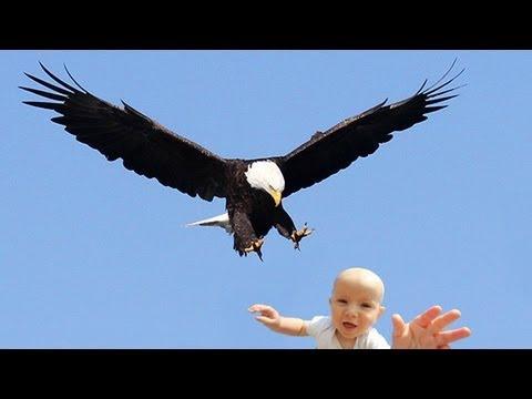 老鷹捉小孩 原來攏是假?