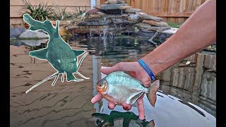 New PIRANHA Fish Species Added to The POND! (Underwater Fish Feeding)