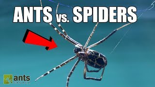 Fire Ants vs. Giant Spiders