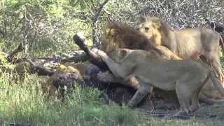 Pride of Lions takedown a Cape Buffalo