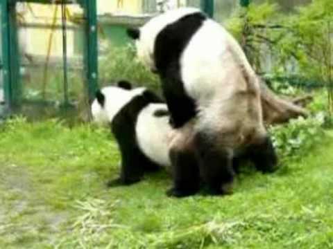 Animal Love Wallpaper Panda Couple Mating Zoo Vienna Youtube