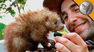 Tiny Porcupine LOVES Treats!