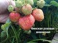 Очень сладкий сорт клубники с привкусом ананаса!!! Финская розовая ананасная.