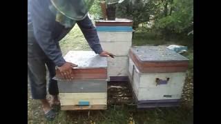 Как соединить 2 отводка пчел без вреда и спользой для пчеловода