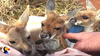 Rescued Baby Kangaroos Have The Best 'Mom' | The Dodo